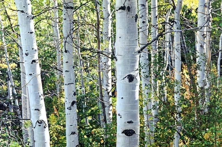 Easy Birch Tree Oil Painting